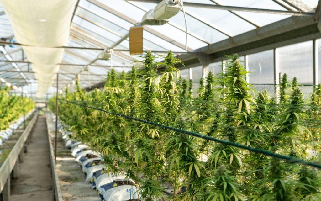 Emjay's Cannabis Indica, Sativa, Hybrid Guide. Photo by CRYSTALWEED cannabis on Unsplash